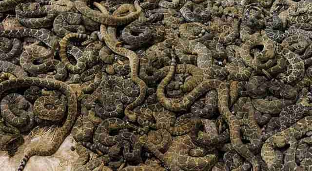 Nature Trivia Question: What is a group of rattlesnakes called?