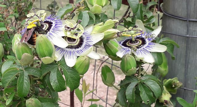 Nature Trivia Question: What is the tropical fruit this showy flower produces?