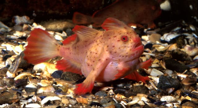 Nature Trivia Question: In which country is the Spotted Handfish native?
