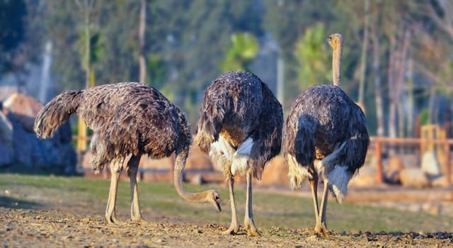 Nature Trivia Question: Which is not true about ostriches?