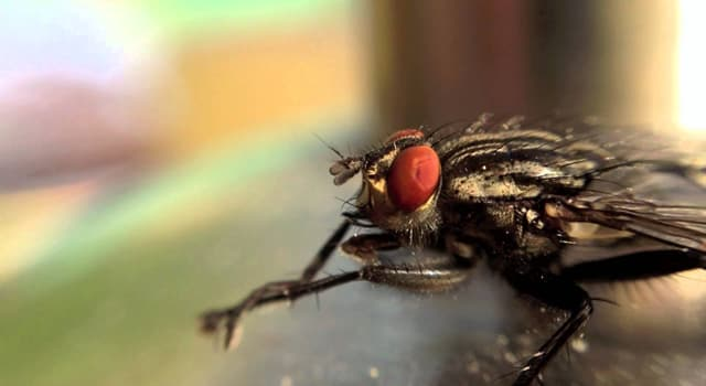 Nature Trivia Question: Which is the most common fly species found in houses?
