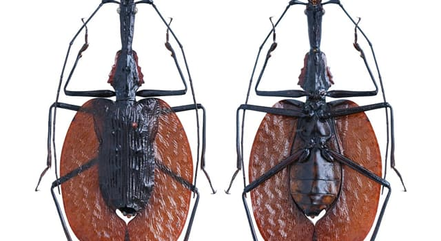 Nature Trivia Question: Which of these beetles is in the picture?