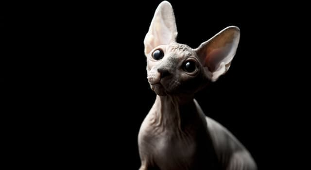 Nature Trivia Question: Which of these is false about the Sphynx cats?