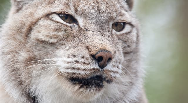 Nature Trivia Question: Which of these is the main distinctive feature of a lynx?