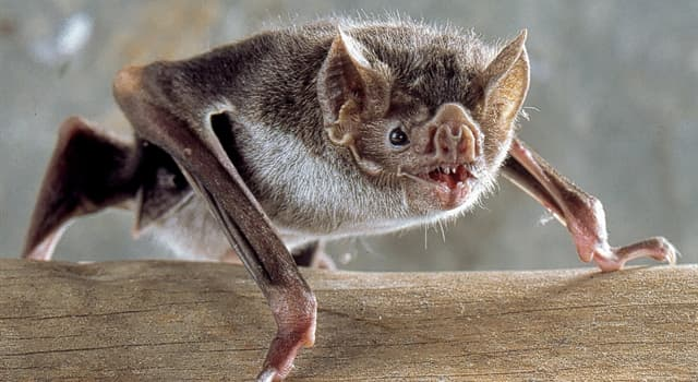 Nature Trivia Question: How many different species of bats are there in the world?