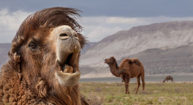 Nature Trivia Question: As of 2020, how many surviving species of camels are there?