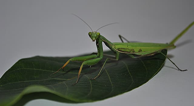 Nature Trivia Question: What do mantises eat?