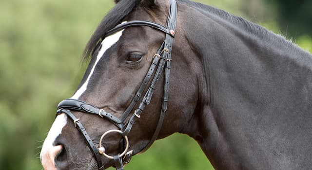 Sport Trivia Question: What term below is not identified as an individual piece of an English snaffle bridle?