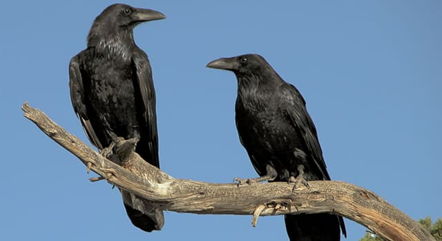 Nature Trivia Question: What is the collective noun for a raven?