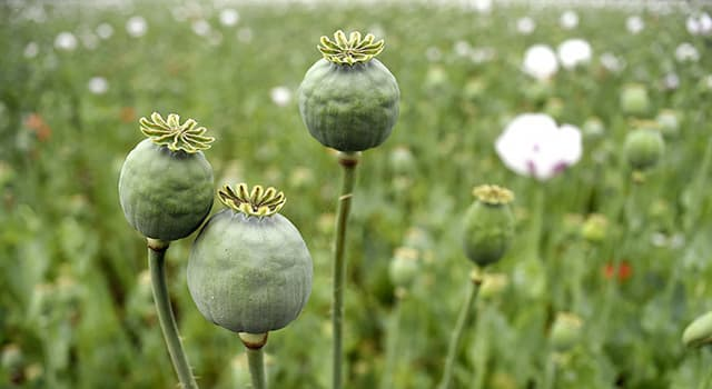 Nature Trivia Question: What plant is used to make opium?