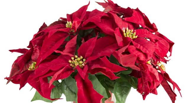 Nature Trivia Question: What name is this holiday flower called?