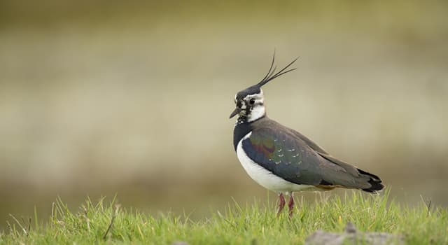 Nature Trivia Question: Where do northern lapwings breed?