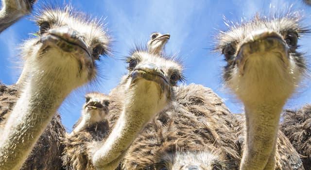 Nature Trivia Question: Where do ostriches lay their eggs?