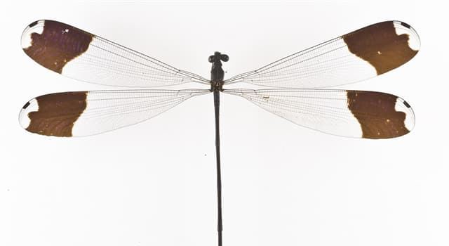 Nature Trivia Question: Which are a part of the diet of 'Megaloprepus caerulatus', a damselfly with the greatest wingspan?