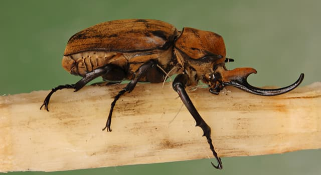 Nature Trivia Question: Which beetle is pictured below?
