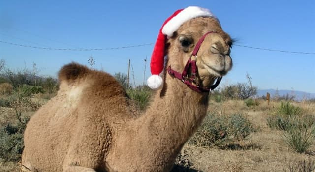 Culture Trivia Question: Which country celebrates the Christmas tradition of the Smallest Camel during the Epiphany holiday?