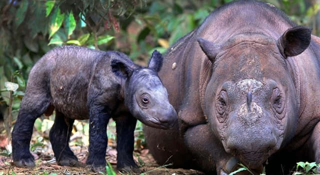 Nature Trivia Question: Which of these animals is the smallest rhinoceros?