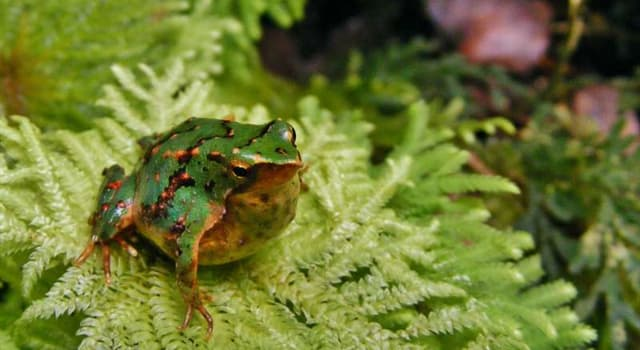 Nature Trivia Question: Which of these is the most striking feature of Darwin's frog?