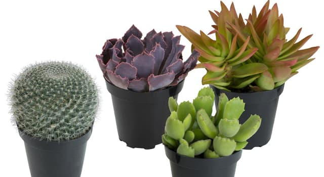 Nature Trivia Question: Which plants have parts that are fleshy, usually to retain water in arid climates or dry soil?