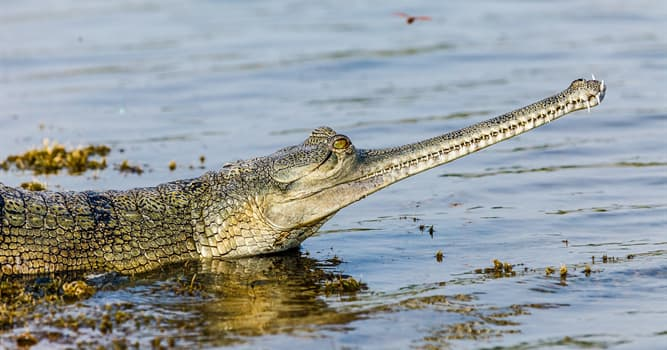 Nature Trivia Question: What is the only thing gharials leave the water for?