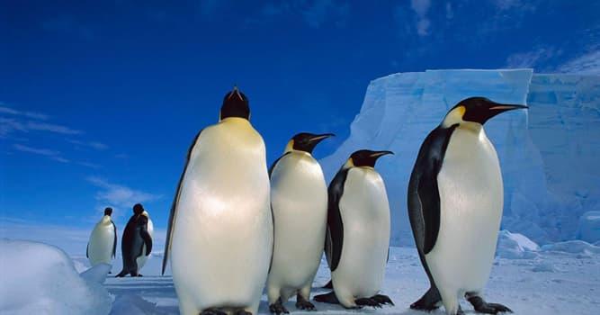 Naturaleza Pregunta Trivia: ¿Cómo permanecen calientes los pingüinos emperadores?