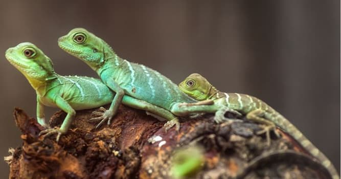Nature Trivia Question: In reptiles, what is the sac in which the fetus develops called?