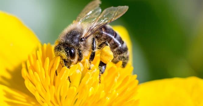 Сiencia Pregunta Trivia: ¿Qué medicina alternativa usa productos derivados de las abejas?