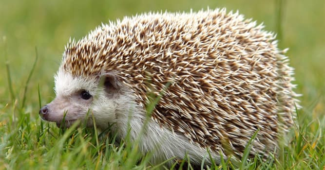 Nature Trivia Question: There are no hedgehogs native to which country?