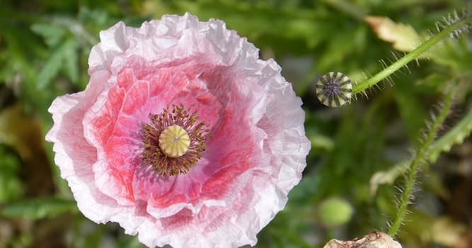 Nature Trivia Question: What color is a Welsh poppy?