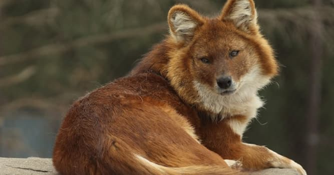 Nature Trivia Question: Where is the dhole native to?