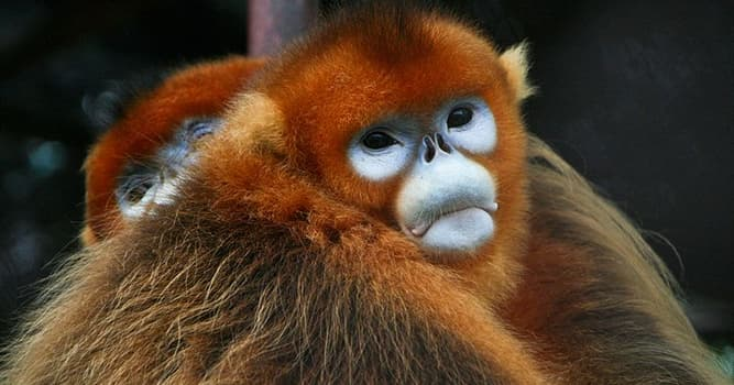 Nature Trivia Question: Where is the golden snub-nosed monkey native to?