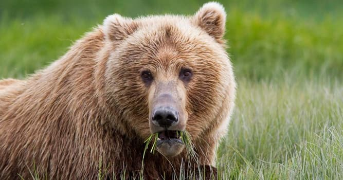 Nature Trivia Question: Which is the largest bear species?