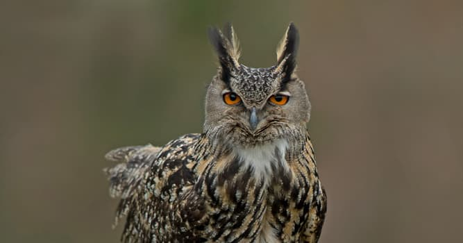 Nature Trivia Question: Which of these owl species has distinctive ear tufts?