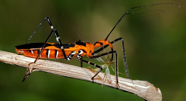 Naturaleza Pregunta Trivia: ¿A qué orden de insectos pertenece la chinche asesina?