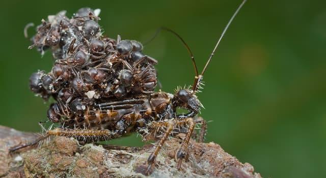 """Naturaleza Pregunta Trivia: ¿Cómo es el nombre de este invertebrado artrópodo del orden de los hemípteros y de la familia """"Reduviidae""""?"""