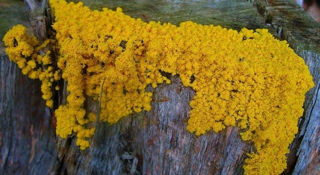 "Naturaleza Pregunta Trivia: ¿Cuál es la principal fase vegetativa del ""moho de muchas cabezas""?"