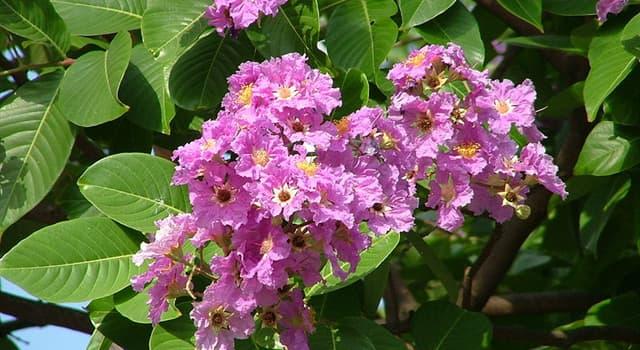 Naturaleza Pregunta Trivia: ¿De dónde es nativo el árbol de la flor banabá?