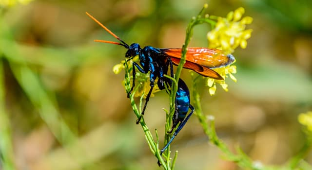 Naturaleza Pregunta Trivia: ¿De qué estado de los Estados Unidos fue elegida en 1989 la avispa caza tarántulas como el insecto oficial?