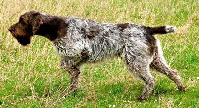 Naturaleza Pregunta Trivia: ¿De qué país es originario el perro Grifón Korthals?