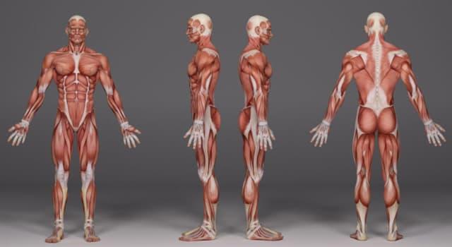 Сiencia Pregunta Trivia: ¿En dónde se encuentra en el cuerpo humano el músculo llamado sóleo?