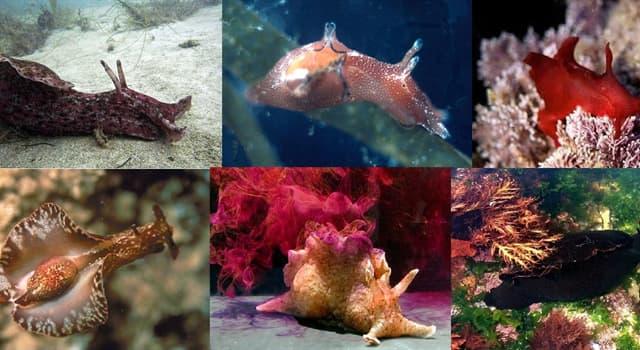 """Naturaleza Pregunta Trivia: ¿En qué mares habita principalmente la """"liebre de mar"""" o """"aplisia""""?"""