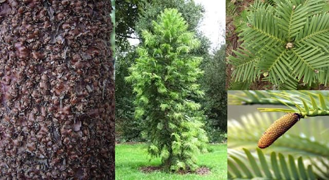 Naturaleza Pregunta Trivia: ¿En qué país fue descubierto en el año 1994 la única especie conífera del género Wollemia?
