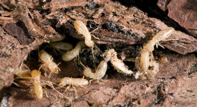 Naturaleza Pregunta Trivia: ¿Qué ácido se utiliza para atacar la invasión de termitas?
