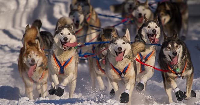 Sport Trivia Question: The Iditarod is a dog sled race held in which US state?