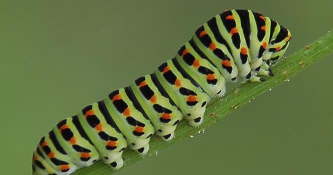 Natur Wissensfrage: Von welchem Tier ist die Raupe das Larvenstadium?