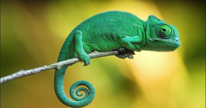 Natur Wissensfrage: Warum wechseln Chamäleons ihre Farbe?