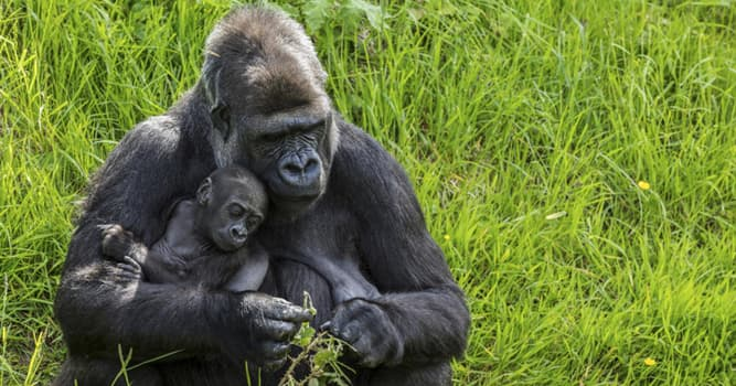 Nature Trivia Question: What is a group of gorillas called?