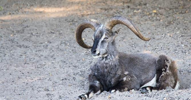 Naturaleza Pregunta Trivia: ¿Cuál de estos animales es llamado igualmente la cabra azul del Himalaya?
