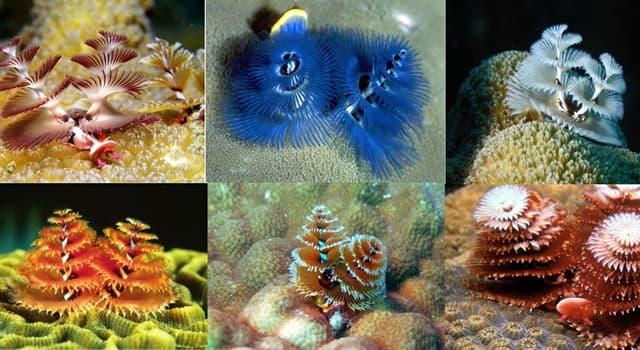 """Naturaleza Pregunta Trivia: ¿A qué clase de anélidos pertenece """"El gusano árbol de Navidad """"?"""