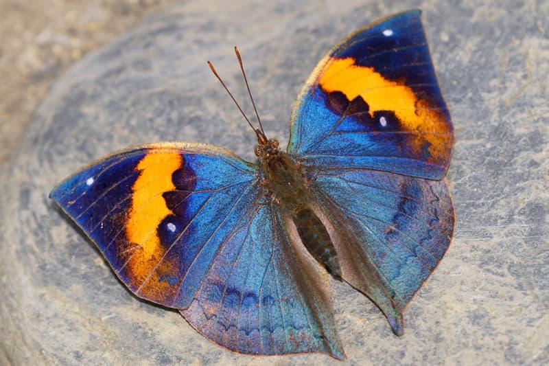 Naturaleza Pregunta Trivia: ¿A qué se parece la mariposa Kallima inachus cuando tiene sus alas cerradas?
